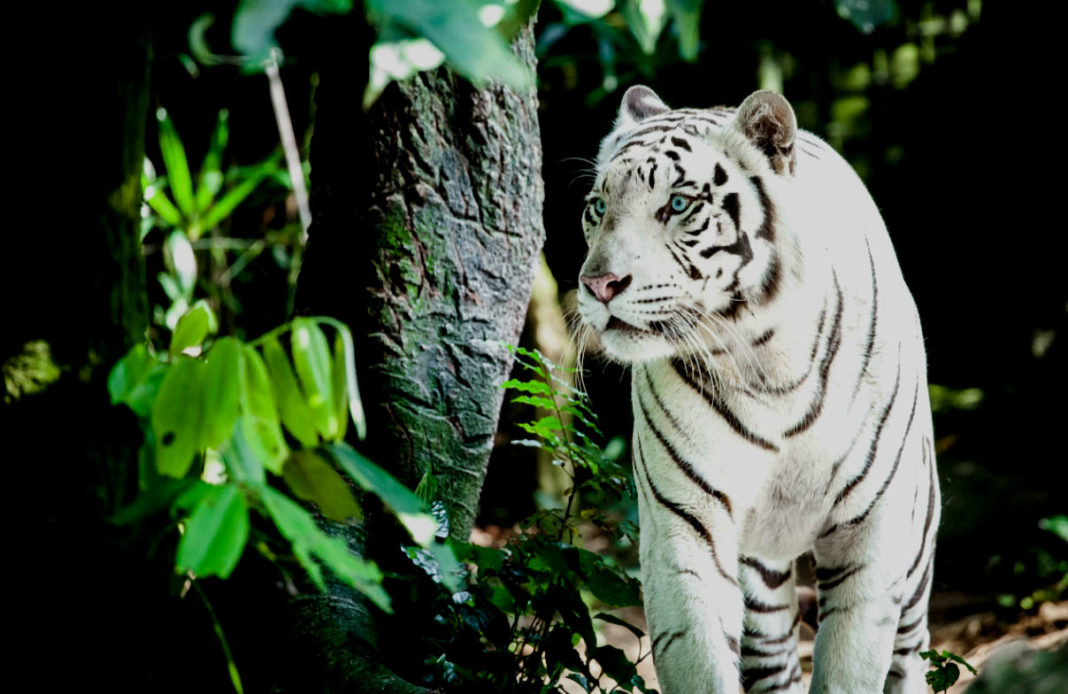 Гороскоп Года Тигра - символ 2010 года - тигр